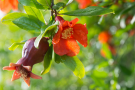 Pomegranate flower hanging from the tree