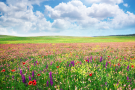 Field of flowers blooming with blue sky and puffy clouds above.