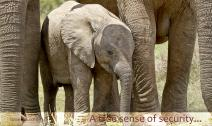 Young elephant surrounded by family