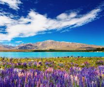 Glacial blue lake with purple lupine flowers in front of mountains and deep blue sky