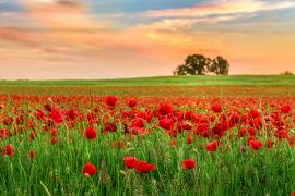 Field of brilliant red poppies with the colorful sky at sunset