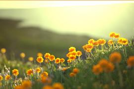 Orange flowers on hillside