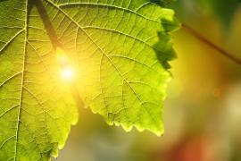 Sunlight through green leaf