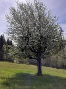 picture of blooming tree