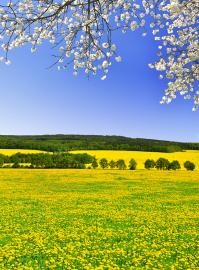 Yellow flower covered field under a blue sky and a blossoming cherry tree