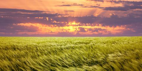 Field of blowing wheat and sunset