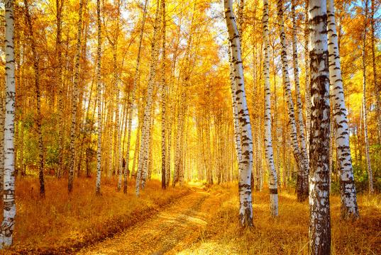 Autumn Aspen Forest