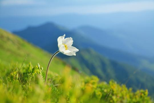 Precious white flower bloom on a green hill in the mountains